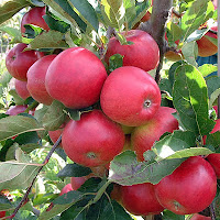 Manfaat dan khasiat buah apel untuk obat