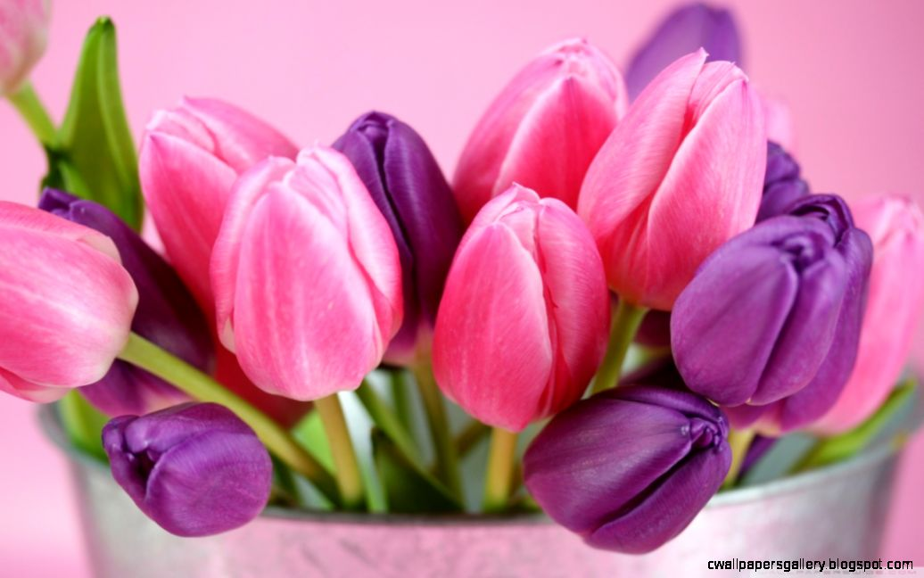 Pink And Purple Tulips HD desktop wallpaper  High Definition