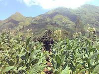 Tembakau berkualitas nomor satu ini adalah produk lokal alias berasal dari Indonesia, yaitu dari daerah Temanggung, Jawa Tengah