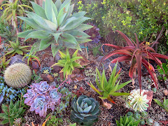 Agave attenuata and friends