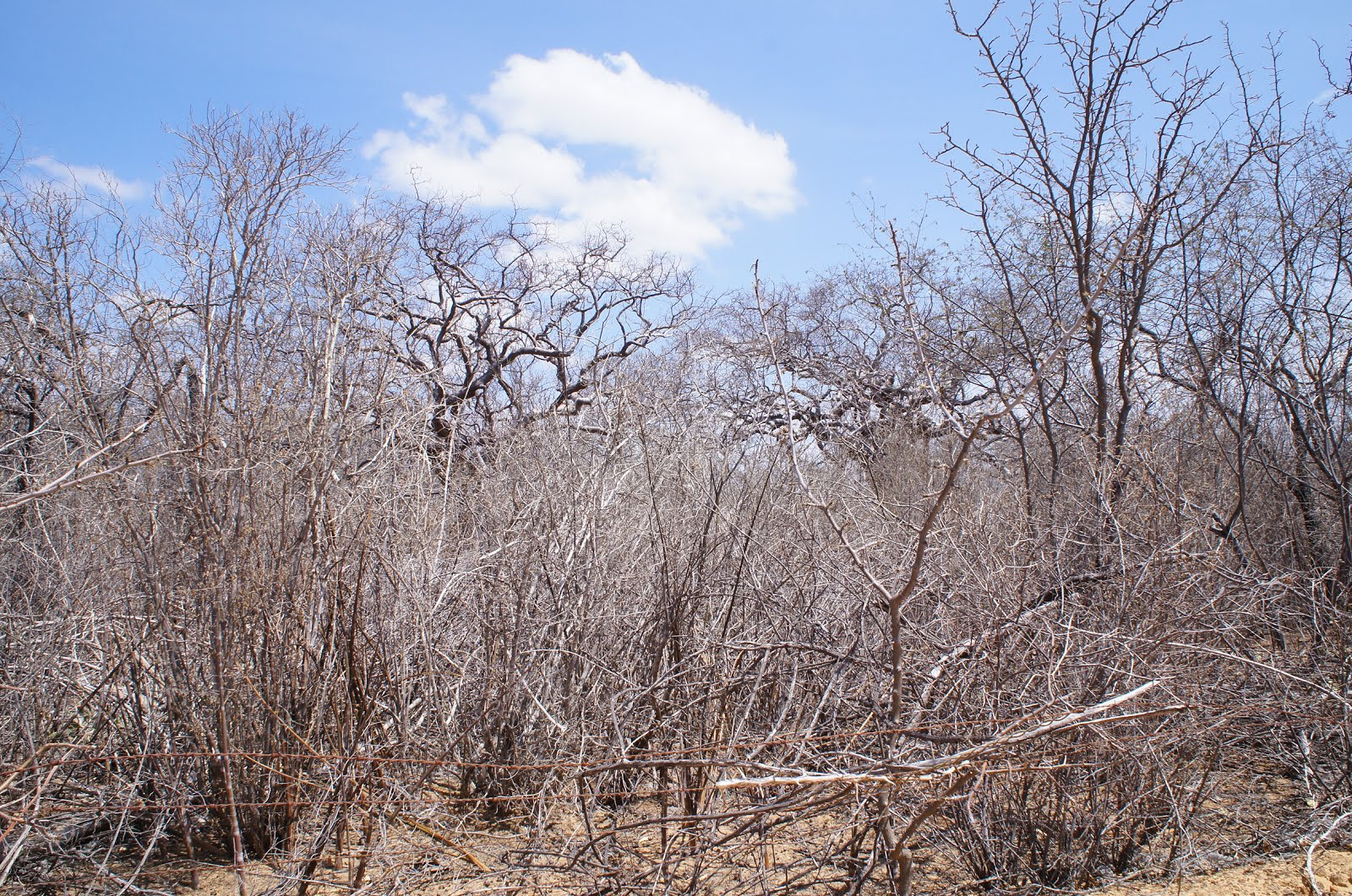 A caatinga seca