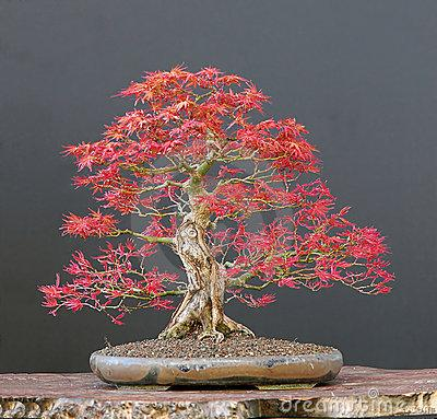 Ye l denge b o n s a for Piante per bonsai