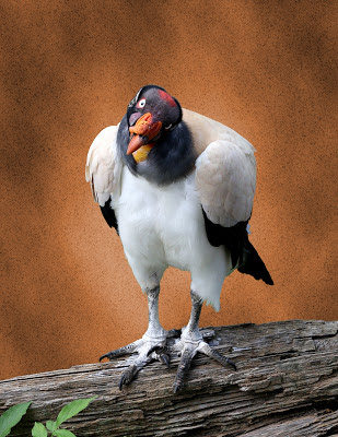King Vulture on Textured Background