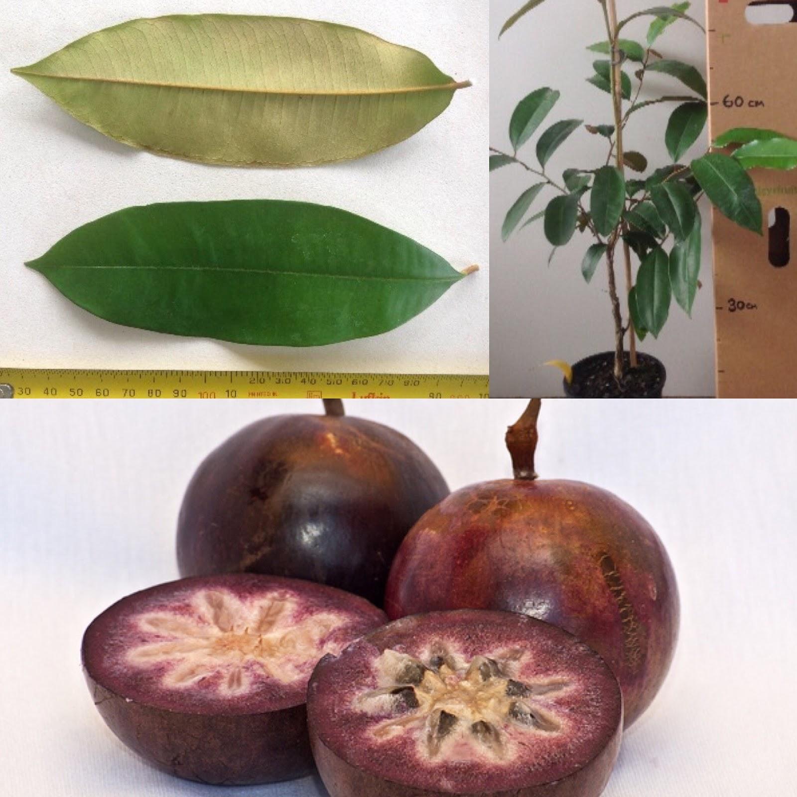 Daleys fruit tree blog star apple fruit tree for sale for Fruit trees for sale