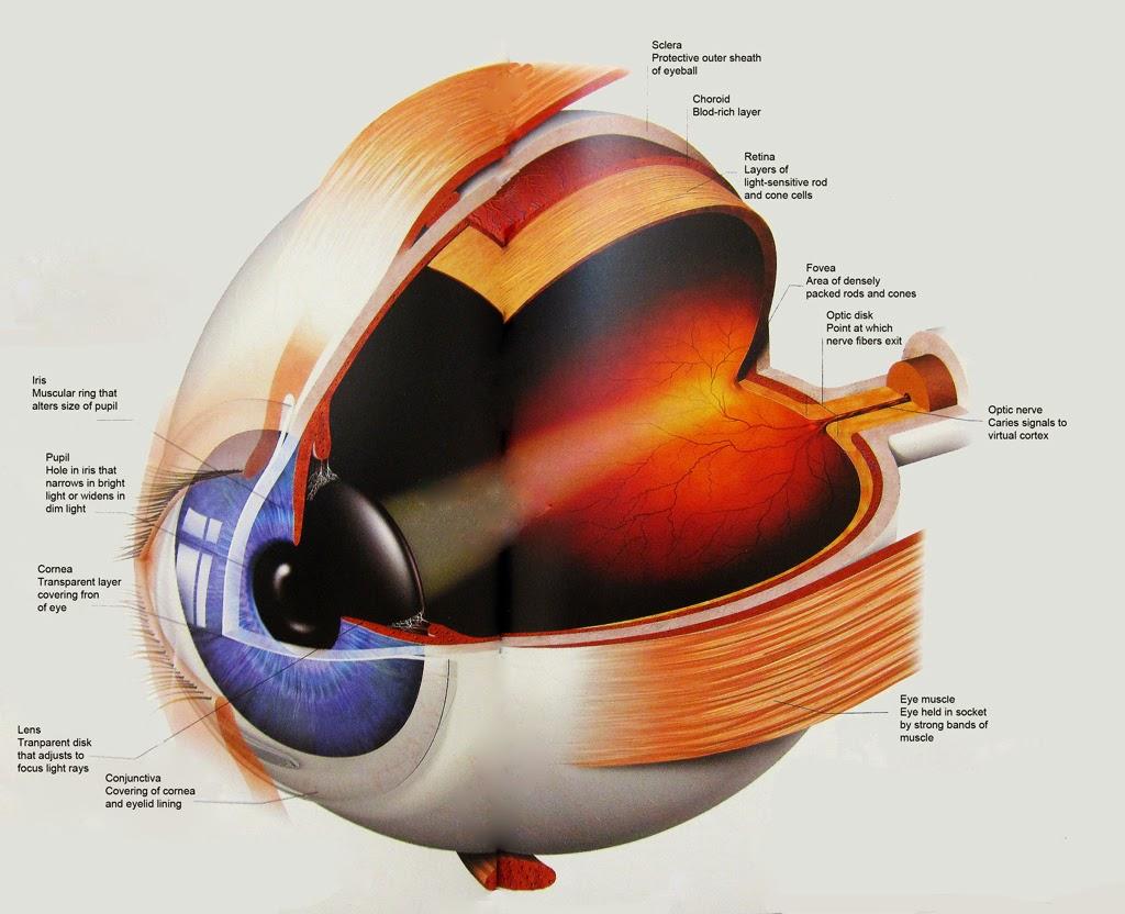 Discovering Something New : Eye Anatomy
