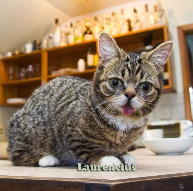 Kucing-Kurcaci-Lil-Bub_4