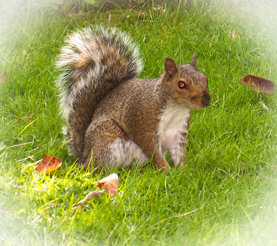 grey squirrel with red eye