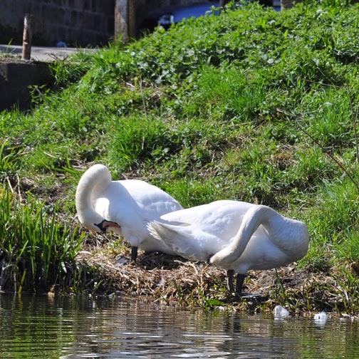mute swans grooming