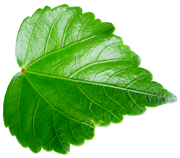 すべての折り紙 折り紙 9月 : 緑が鮮やかなハイビスカスの葉 ...