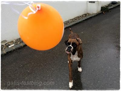 Boxer Amy und der Luftballon