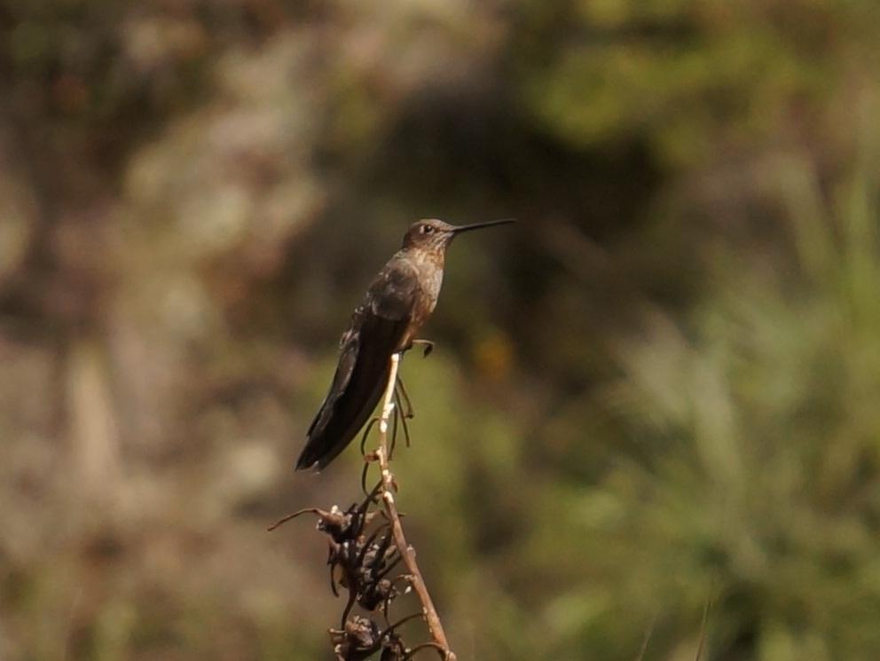 南米野鳥図鑑: オオハチドリ(英...