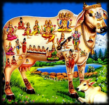 analysis of marvin harris india s sacred cow Read the following article and answer the questions at the end india's sacred cow by marvin harris (paraphrased) news photographs that came out of india.