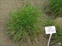 http://plantsgallery.blogspot.com/2014/02/melica-ciliata-perowka-orzesiona.html