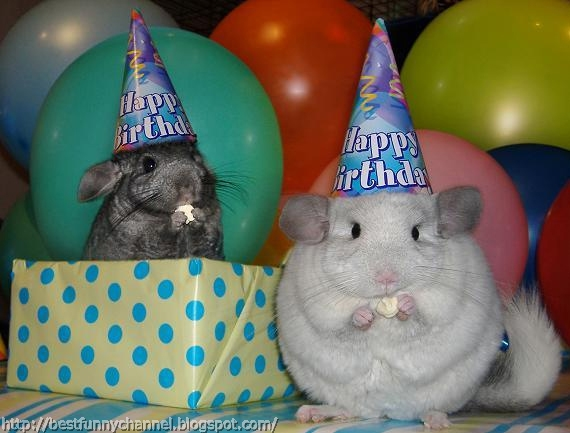 chinchillas.