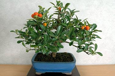 como fazer bonsai