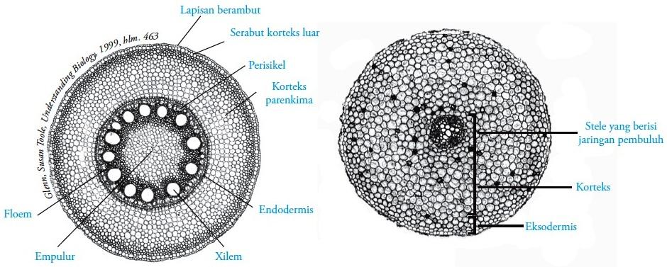 Gambar Struktur Akar Tumbuhan Dikotil Dan Monokotil