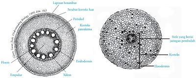 Struktur akar tumbuhan dikotil dan monokotil