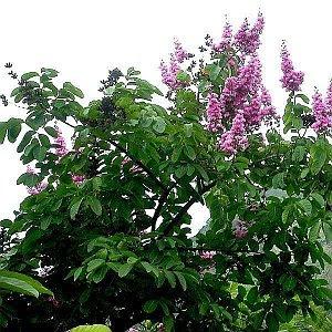 Banaba plant