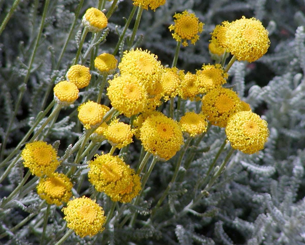 сантолина цветок