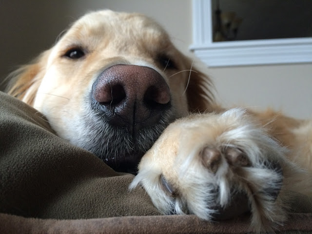 close up photo of golden retriever #wordlesswednesday