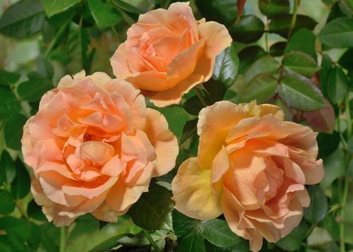 Easy Going rose сорт розы минск