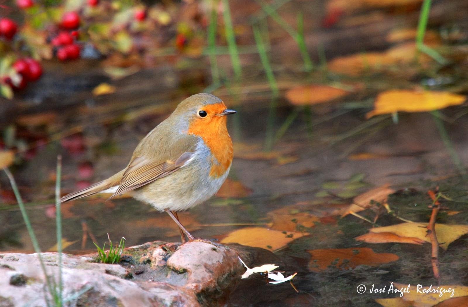 Fuente de la imagen: http://fotosjoseangelrodriguez.blogspot.com.es/2010/11/aves-en-otono-birds-in-autumn.html