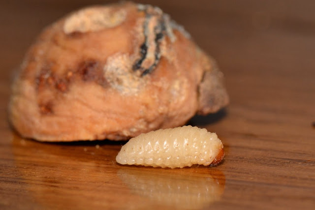 grub of an acorn weevil
