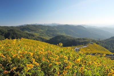 Mùa hoa hướng dương ở tỉnh Lop Buri, Thái Lan