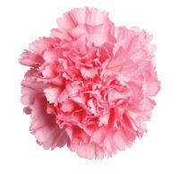 1st Anniversary Gift Carnation Flower