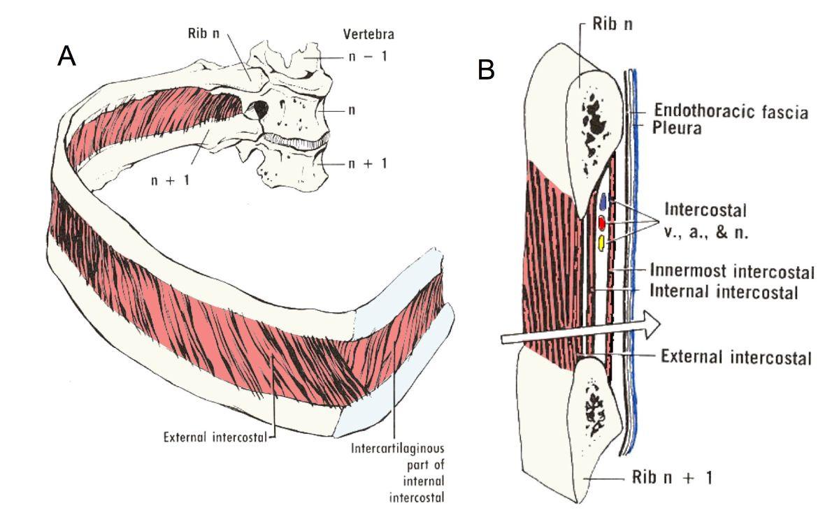 ... Between Internal And External Intercostals The intercostal muscles