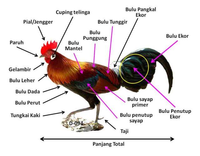 Ciri-ciri Ayam Hutan Merah