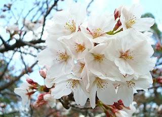 Wallpaper Bunga Sakura - Bunga Sakura Putih
