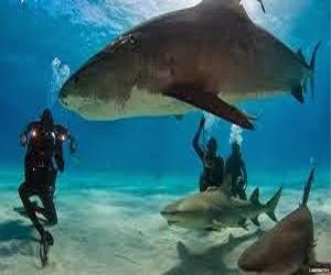 Hiu terbesar didunia