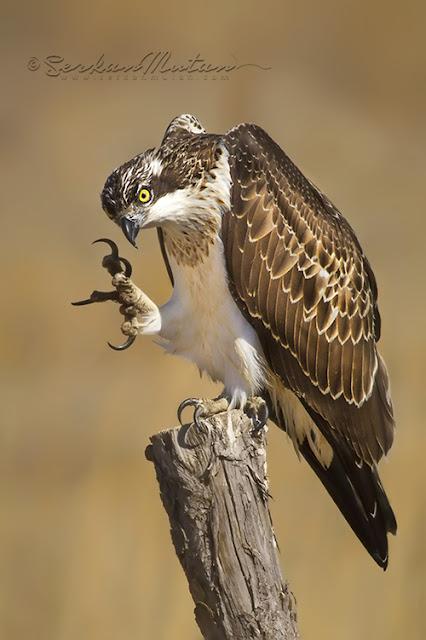 Balık kartalı, Osprey, Pandion haliaetus