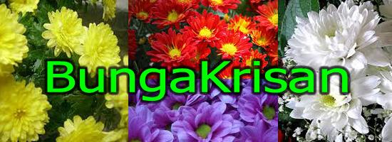Bunga Krisan, Bunga Seruni, Cara Menanam Bunga Krisan, Budidaya Bunga krisan