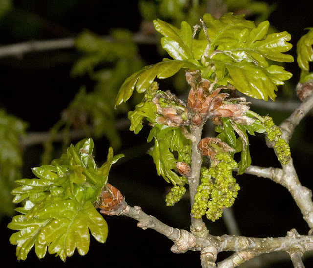 Fresh Oak leaves and immature catkins.  One Tree Hill, 27 April 2012.