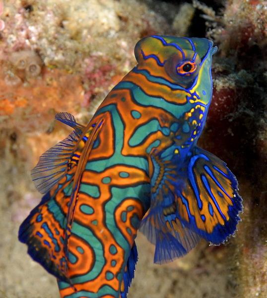 Mandarinfish The Color...