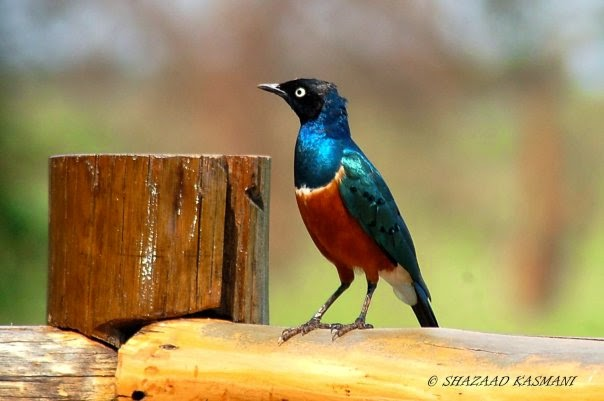 Superb Starling, Birding Kenya, Birds of Kenya, Wild Kenya Safaris,
