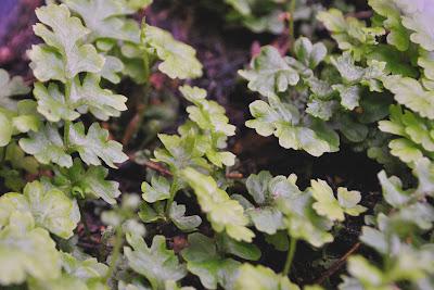 Молодые растения Dryopteris affinis Angustata Crispa