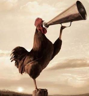 Mengapa Ayam Jantan Berkokok Setiap Pagi?