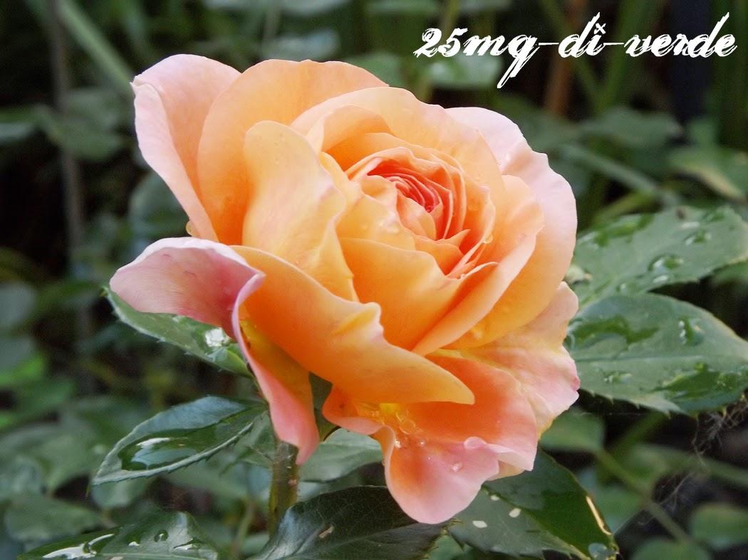 Rose vecchie e rose nuove - 25mq-di-verde