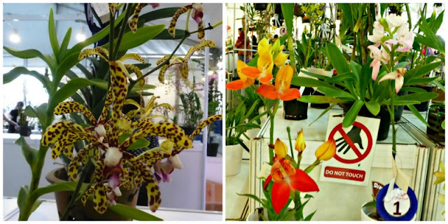 spotted-dual-tone-orchids