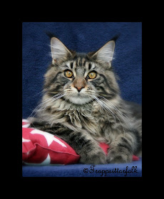 Maine Coon: Dag-Otto