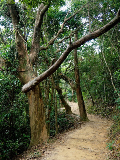 Trees along the forest path of Dragon's Back trail, Hong Kong Island