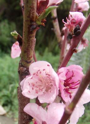 Nectarine Blossoms, San Francisco Bay Area