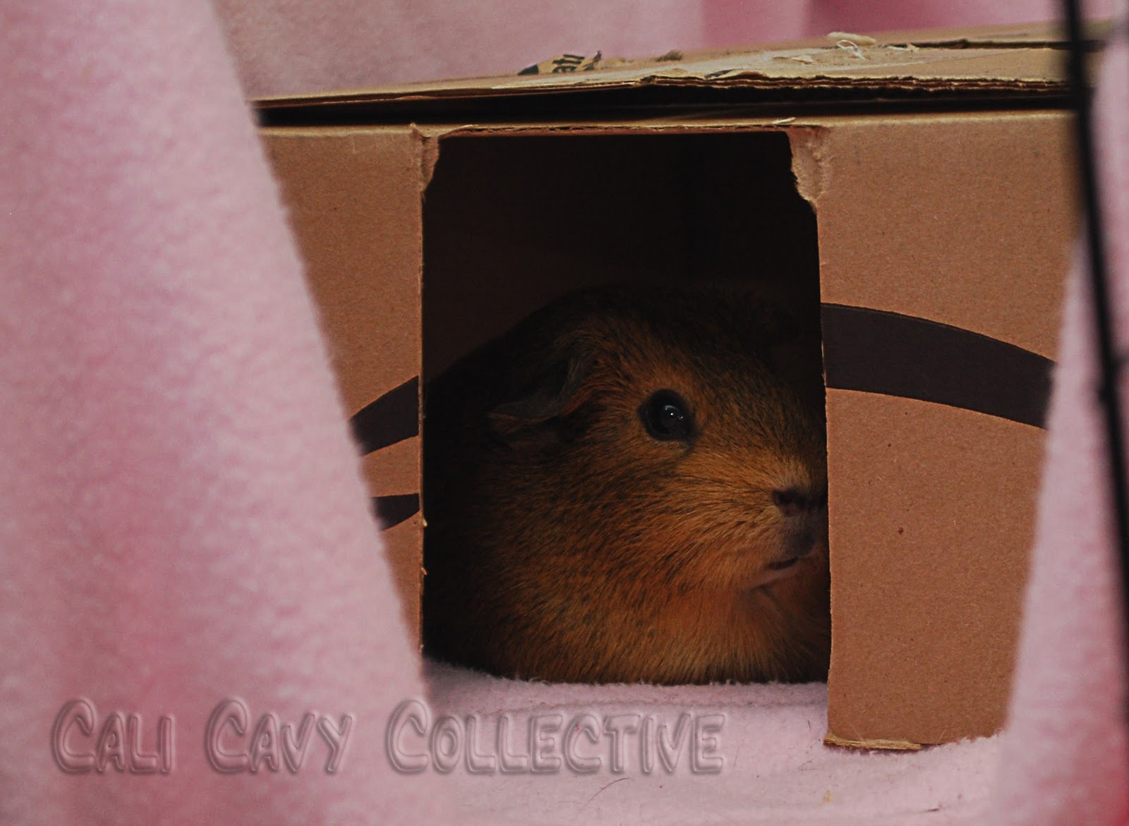 Cali Cavy Collective: a blog about all things guinea pig ...