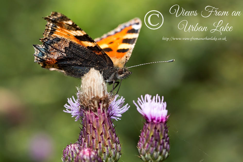 Small Tortoiseshell - Manor Farm, Milton Keynes
