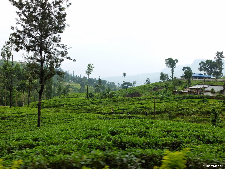 Plantations de thé vue du train Sri-Lanka train bleu Ella