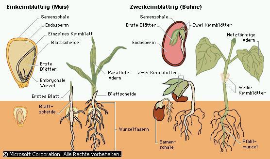 die fotosynthese - Einkeimblattrige Pflanzen Beispiele