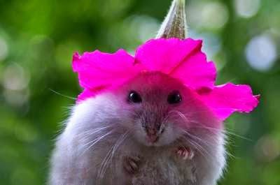 foto-hamster-lucu_654120